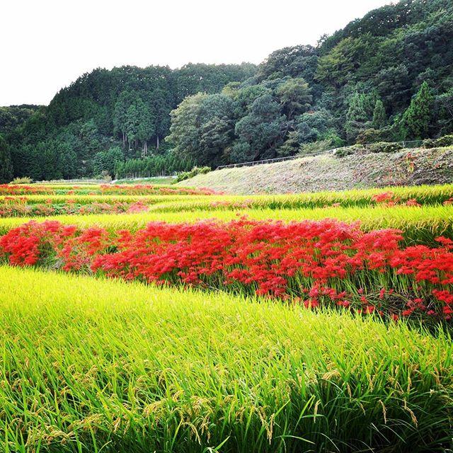 彼岸花の季節ですね。葛城一言主神社(かつらぎひとことぬしじんじゃ)付近の田んぼの畦には、彼岸花が所狭しと咲いています。 #彼岸花 #曼珠沙華 #葛城一言主神社 #一言さん #こんな景色みたことない