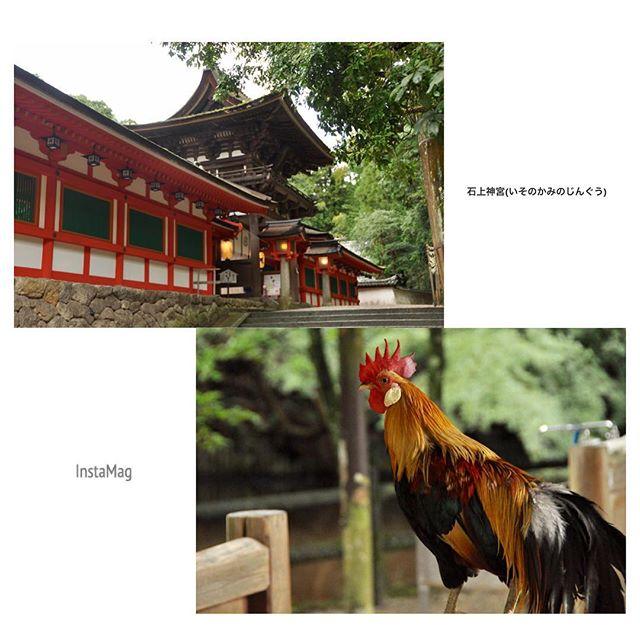 石上神宮(いそのかみじんぐう)布都御魂剣(ふつのみたまのつるぎ)を御神体とするお宮。物部氏の氏神さま。境内には色んな種類の鶏が闊歩しています( * ˊᵕˋ )何度お参りしても、スッキリするお宮です。#奈良 #天理 #神社 #石上神宮 #ズバズバっと